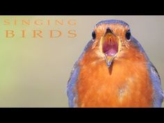 Singing birds in the spring. Nature sounds and real relaxing. Wood Pigeon, Nature Story, Bird Identification, Bird Calls, Poetry Art, Nature Sounds, Backyard Birds, Bird Species, Color Of Life