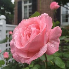 We were so to the remnants of an old when we purchased our I have been the garden this O Ring, Baltimore, Roses, Garden, Flowers, Plants, Garten, Pink, Rose