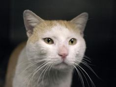 SAIGON - A1043054 - - Brooklyn  ***TO BE DESTROYED 07/20/15*** This adorable guy has been treated like common trash! He was trapped and brought into the ACC in a trap! But SAIGON has behaved beautifully even with the harsh way he was brought in. The 2 year old has earned himself a BEGINNER rating for his good behavior during assessment. He now needs a place he can call his own. Please foster or adopt SAIGON TODAY! -  Click for info & Current Status: http://nyccats.urgentp