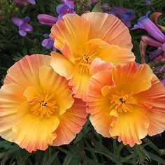 What Rhymes with Eschscholzia? - Apricot Chiffon