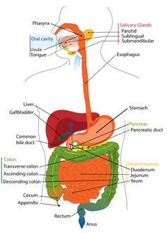 Subscriptions youtube anatomy digestive system pinterest ccuart Image collections