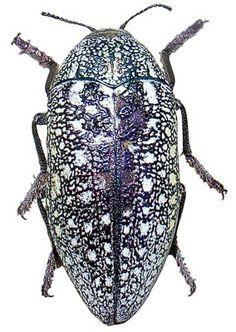 Qatar e-Nature – Jewel Beetle
