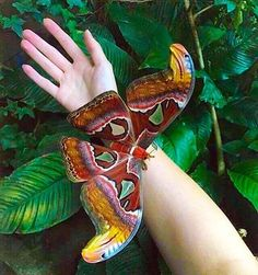 """Atlas moth - """"Attacus atlas is a large saturniid moth found in the tropical and subtropical forests of Southeast Asia, and is common across the Malay archipelago."""" Wikipedia"""