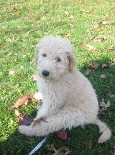 I saw the cutest Goldendoodle puppy today-how can I resist this adorable face.... ok $2000 is too much, so it's off to the Animal Shelter I go!