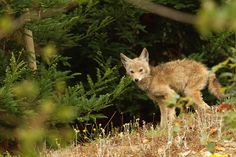 Young coyote found on the Presidio of San Francisco @GoldenGateNPS @Presidio of San Francisco #parks4all #volunteerphotographer (Kirke Wrench/NPS)
