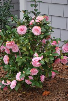 """Chapter 11: """"He did not begin to calm down until he had cut the tops off every camellia bush Mrs. Dubose owned"""" (Lee 137). Justice vs. Injustice"""