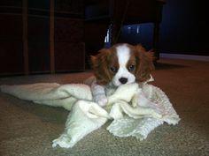 King Charles Cavalier Spaniel...Baby Pharley...8 weeks.