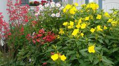 Korallikeijunkukka, jalokallioinen ja kultahelokki - Red Spangles, Erigeon specious and Oenothera tetragona Kukkaiselämää - My flowering life blogi