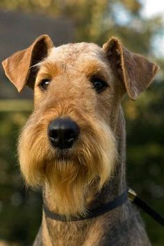 In the beginning, Airedale Terriers were called Waterside or Bingley Terriers. They looked really different from the Airedale Terriers we s. Welsh Terrier, Airedale Terrier, Fox Terrier, Terriers, Lakeland Terrier, Cute Puppies, Cute Dogs, Dogs And Puppies, Doggies