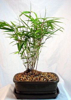 Dwarf Chinese Bamboo Grass Bonsai - Fargesia - Indoor - Hirt's Gardens