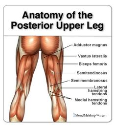Anatomy of the back leg