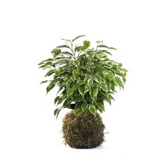 Kokedama de Ficus Benjamina Kinki