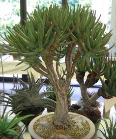 Information on aloe plants that get fat trunks. Flowering Succulents, Succulent Bonsai, Succulent Gardening, Cacti And Succulents, Planting Succulents, Cactus Plants, Planting Flowers, Agaves, Rare Plants