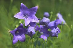 Unique Balloon Flowers puff up into little pillows and pop open in stunning shades of blue, pink, and white. Tips for growing them in your own garden.