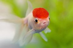 Below is a list of the best algae eating fish and invertebrates available today. Freshwater aquarium algae eaters consist of fish, shrimp, and snails.