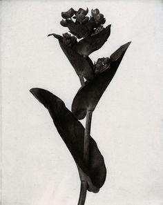 Karl Blossfeldt (1865-1932) botanical fine art photographer - Euphorbia pithyus.