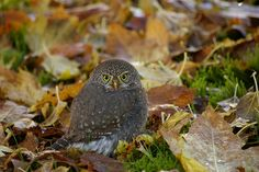 Northern Pygmy Owl - We've heard about the larger owls but what about the tiny species? The northern pygmy owl is a mere 6 inches long. Unlike many owl species, this one is diurnal and also active at dawn and dusk.  photo:  NechakoRiver