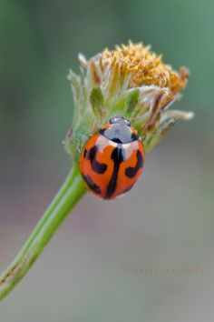 Coccinellidae, but you can call me Mr Ladybird  | Flickr - photo: ~AntZ~