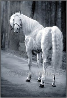 """Orlov"" trotter. A Russian mount. Beautiful horse!"