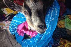 Pineapple Bay - love goats!