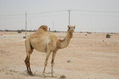 Camel, Qatar