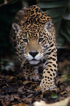 Panthera onca - Jaguar by Thierry Montford Animals And Pets, Funny Animals, Cute Animals, Beautiful Cats, Animals Beautiful, Big Cats, Cats And Kittens, Jaguar Animal, Gato Grande