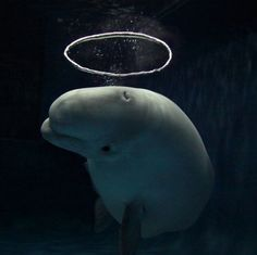 #Beluga blowing circular bubble Funny Animal Pictures, Funny Animals, Cute Animals, Orcas, All Nature, Science Nature, Beautiful Creatures, Animals Beautiful, Whales