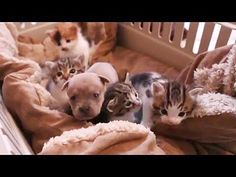 Cat Video: Mother Cat Nurses Motherless Puppy. Detroit Michigan Humane Society posted this darling video of a motherless puppy who was taken in by a nursing cat mama. So touching! Thank you Edrys for alerting us to this great video! - www.catfaeries.com/videos/2016/05/09/cat-video-mother-cat-nurses-motherless-puppy/ - www.catfaeries.com - Products for good behavior & health for the modern housecat.