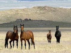 Time Running out for Wild Mustangs on Goverment Land ~~~ Recently, news reports hit the papers that the Bureau of Land Management (BLM) could no longer afford to feed and house the wild horses and ...