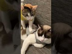 Funny Bets, Funny Cat Videos, Cat Gif, Cats, Animals, Gatos, Animales, Animaux, Animal