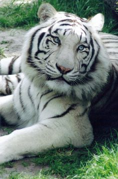 Großartige Bestes White Tiger-FotoYou can find White tigers and more on our website. Big Cats, Cats And Kittens, Cute Cats, Tiger Pictures, Cute Animal Pictures, Nature Animals, Animals And Pets, Wild Animals, Beautiful Cats