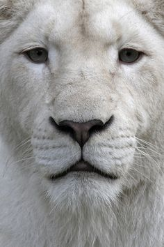 The White Lion. This Lion is actually white due to a recessive gene, he is not an albino lion. Beautiful Cats, Animals Beautiful, Beautiful Friend, Animals And Pets, Cute Animals, Wild Animals, Nature Animals, Baby Animals, Savanna Animals