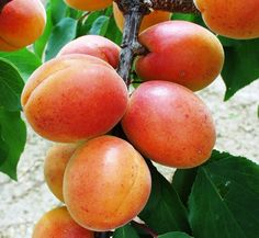 Plum, Peach, Fruit, Gardening, Peaches, Garten, Lawn And Garden, Garden, Square Foot Gardening