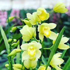 Green Cymbidiums #tohgarden #singapore #temperate #farm #orchid #love #orchids #orchidflowers #orchidgarden #morning #orchidlove #instagramorchids #instaorchid #collection #orchidaceae #plant #photooftheday #兰花 #orchidplant #colourfulflowers #flowers #chinesenewyear #nature #orchidfarmer #