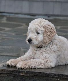 Cream Goldendoodle puppy, apricot golden doodles, best family dog, goldendoodles san francisco area, goldendoodles sacramento area, bay area goldendoodle breeder, red goldendoodle, family goldendoodle, goldendoodle puppies