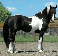 Pinto Friesian Sport horse Stallion by Nico Most Beautiful Horses, Pretty Horses, Horse Love, Animals Beautiful, Cute Animals, Horse Photos, Horse Pictures, Cheval Pie, American Paint Horse