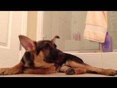 Man Sings in the Shower and His German Shepherd Sings with Him!...The cutest video I've seen in a while! Reminds me of a old friend's family dog.