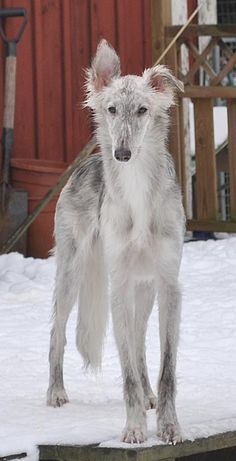 Pepsi aka Merlin, Silken Windhound in Sweden. Photo by Susann Stjernborg.