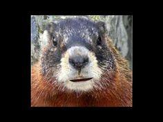 Souhait Anniversaire - Marmotte Chiante - Ep.01  Un souhait d'anniversaire a envoyer a un ami ou proche !   #maitrefun #marmotte #chiante #marmottechiante #vulgaire #humour #drole #comique Minions, Animals, Birthday Humorous, Retirement, Animais, Animales, The Minions, Animaux, Animal