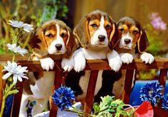 3 beagles on a fence