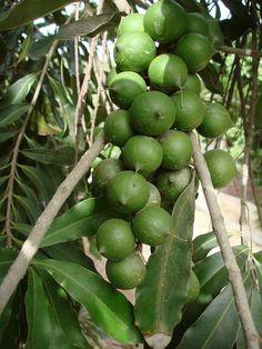 Macadamia Noix du Queensland