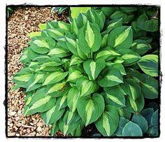 Strip Tease Hosta  ~ See the Plant Information Index for more details at kieferlandscaping.com
