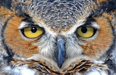 nature upclose eye owl - Szukaj w Google
