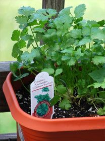 Interesting article on the healing benefits of Cilantro, Growing Cilantro and Recipes.  I'll be growing and trying a few of these recipes!