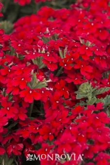 Monrovia's Endurascape™ Red Verbena details and information. Learn more about Monrovia plants and best practices for best possible plant performance.