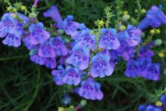 Image detail for -Although Penstemon heterophyllus Margarita BOP has an infusion of red ...
