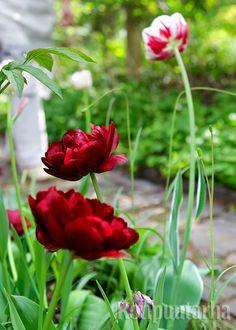 Syviä punaisen ja violetin sävyjä on näkynyt jo paljon tämän vuoden kukka-asetelmissa ja istutuksissa ja sama trendi näkyy myös ensi vuonna. Liljatulppaanin'Uncle Tom' kukinto on syvän punainen ja pionimainen. Kukinta-aika on touko–kesäkuussa. Kuva: Teija Tuisku