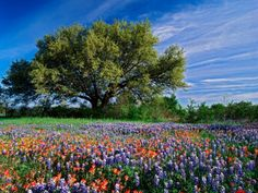 Live Oak, Paintbrush, and Bluebonnets in Texas Hill Country, USA Photographic Print by Adam Jones at AllPosters.com