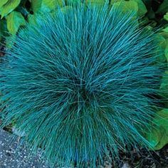 """Beyond Blue Festuca More robust and a brighter blue than other ornamental Fescues, this new variety keeps its rich color all summer without browning out! 10-12"""" tall and 18"""" wide, it is tidy in habit and low in maintenance, taking drought, heat, humidity and poor soil in its stride. Needs excellent drainage. Zones 4-8. Ships in 3"""" Pot. Festuca glauca 'Casca11' PP23307. Full Sun. Deer tend to avoid. -http://www.springhillnursery.com/product/beyond-blue-festuca/new-plants#sthash.2t5dJzDB.dpuf"""