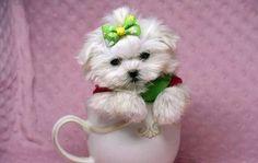 Micro Teacup Maltese Puppies Micro Teacup Maltese